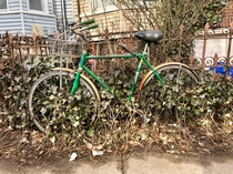 Ivy growing through the wheels of a bike