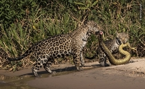 Jaguar and her cub captured an anaconda national history museum wildlife photographer of the year