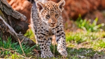 Jaguar Kid