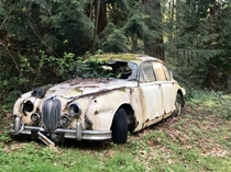 Jaguar Mark  slowly decomposing in the woods
