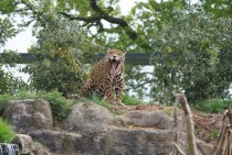 Jaguar stretching its jaws Panthera onca x