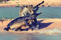 Jaguar vs Crocodile Picture by Justin Black