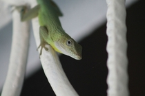 Jamaican Anole Anolis Grahami Chilling on a Gate