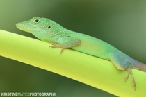 Jamaican Anole on a Papaya Tree - Bermuda