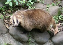 Japanese Badger  x-post from rbadgers