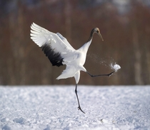 Japanese Crane kicking snow