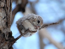 Japanese Dwarf Flying Squirrel Pteromys momonga