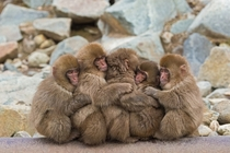 Japanese macaques huddle together in Jigokudani Monkey Park  Photographed by Martha de Jong-Lantink