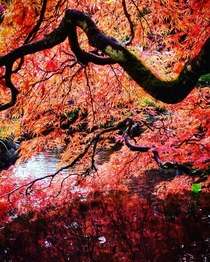 Japanese Maple at Butchart Gardens in British Columbia