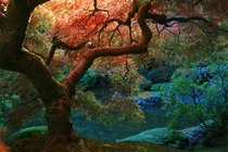 Japanese Maple in Autumn - the Japanese Garden Portland  photo by Laura Bellamy