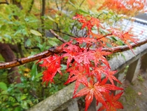 Japanese Maple  Momiji Acer Palmatum