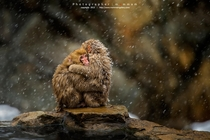 Japanese Snow Monkeys huddling for warmth in the snow  by mommam