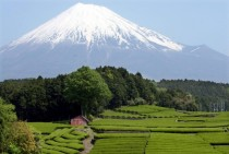 Japanese tea fields near Mt Fuji