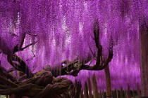 Japanese wisteria  Ashikaga Flower Park in the Tochigi Prefecture of Japan