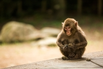 Japense Macaque playing with rocks in Beppu Japan
