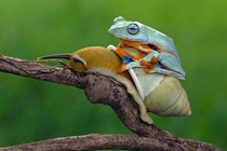 Javan Tree Frog on a snail photograph by Kurit Afsheen