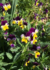Johnny Jump-ups jumping up - Viola tricolor