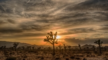 Joshua Tree in its eponymous national park at sunset