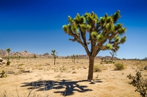 Joshua Tree National Park on a cloudless day