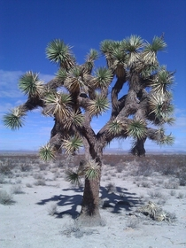 Joshua tree the Mojave desert