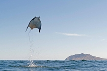 Jumping for Joy by Octavio Aburto Munks Devil Ray