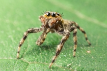Jumping Spider Experiment  of