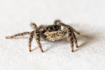 Jumping spider Platycryptus californicus was out today in Montana