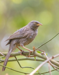 Jungle babbler Argya striata is a noisy bird and the presence of a flock may generally be known at some distance by the harsh mewing calls continual chattering squeaking and chirping produced by its members Pench Madhya Pradesh India