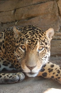 Junior- the younger male jaguar at Woodland Park Zoo taking a break