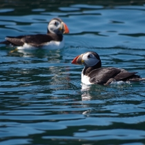 Just a couple of Puffins having a leisurely paddle