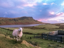 Just a Little Sheep on Neist Point in Scotland
