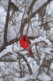 Just a pop of color against the snow Love cardinals but especially in winter