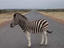 Just a Zebra in the Road