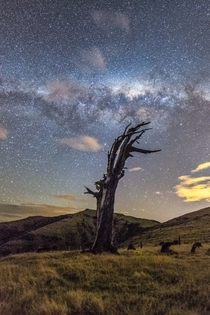 Just some stars and a dead tree I saw last night - Banks Peninsula New Zealand