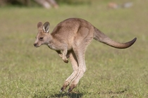 Juvenile Eastern Grey Kangaroo inflight