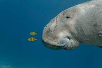 Juvenile golden trevallies riding the pressure waves created by a dugongs nose in the Red Sea