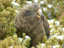 Juvenile Male Kea Nestor notabilis New Zealand