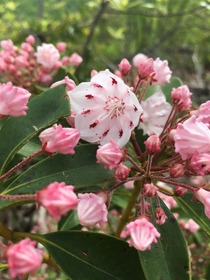 Kalmia latifolia Mountain Laurel- Auxier Ridge Trail