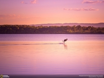 Kangaroo hopping across the water during sunset Queensland Australia by Dave Kan
