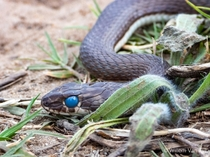 Karoo Sand Snake Psammophis notostictus thats in the blue from Philadelphia South Africa Mildly venomous but harmless to humans