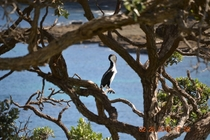 Karuhiruhi Phalacrocorax varius on a tree in New Zealand