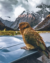Kea kee-uh - the worlds only alpine parrot and one of the few native species of New Zealand sitting atop my rental car in Fjordland National Park