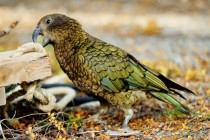 Kea one of most intelligent parrots It lives in New Zealand