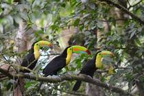 Keel-billed Toucans in Costa Rica