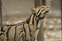 Keep Your Head High Clouded Leopard Neofelis nebulosa x