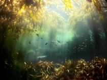 Kelp Forest by Cameron D Smith