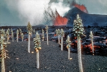 Kilauea eruption with molten lava and papaya trees near Kapoho Hawaii unknown photographer