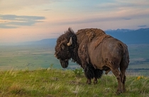 King of the Hill An American Bison on the National Bison Range Moiese Montana Mark Mesenko