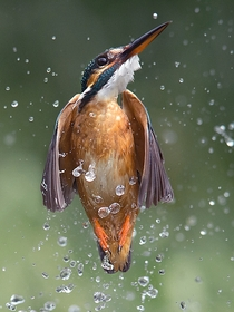 Kingfisher emerging the water