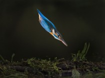Kingfisher moments before breaching the water